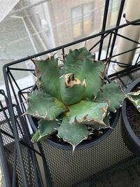 アガベチタノタ について教えてください。 先日、鉢植えのアガベを購入し自宅にて植え替えた所 2週間くらい経過して葉にシワができてきました。 おそらく水が吸えてないのかと。 どう対処したら良いか教えて下さい。 ちなみにマンションの西向きベランダ管理です。 宜しくお願い致します。