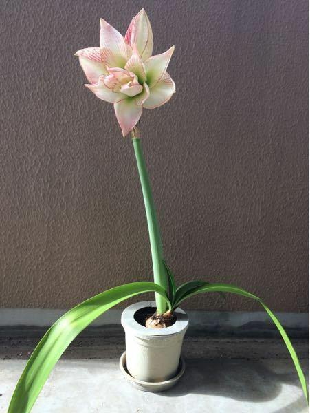 この花の名前を教えて下さい。何年か前から我が家にあるのですが、花の名前が分かりません。また、毎年咲かずに2年に一度くらいしか咲きません。これは毎年咲かない花ですか?何か栽培方法を変えたら毎年咲くように なりますか?