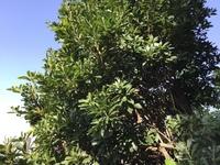 木の名前を教えて下さい。 マンションの一角に高い木が見えます。 名前は何と言いますか? ご存知の方教えて下さい。