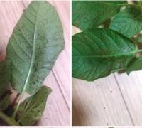 ジャガイモの病気?害虫?について ジャガイモをプランターで育てています。 最近、葉っぱがまだらに茶色くなっている部分が目立ち始めました。裏から見ると、何かがかじったような跡っぽく見えます。でも、葉の裏や茎などには虫の姿はありません。 これは一体何なのかわからず、対処に迷っています。 どなたか詳しい方がおられましたら、教えて下さい。 よろしくおねがいします。