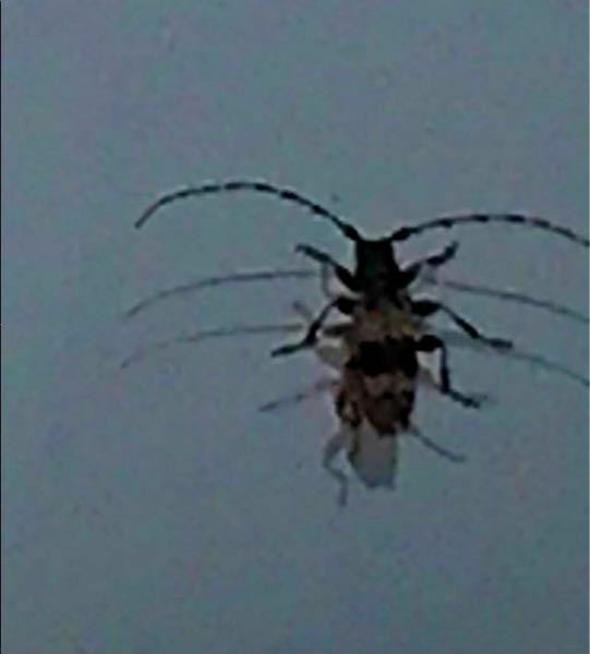 カミキリムシの種類 写真のカミキリムシについて 種類が分かる方、ご教示ください。 一昨日福岡県で撮影したものです。 画質が悪くなっております。