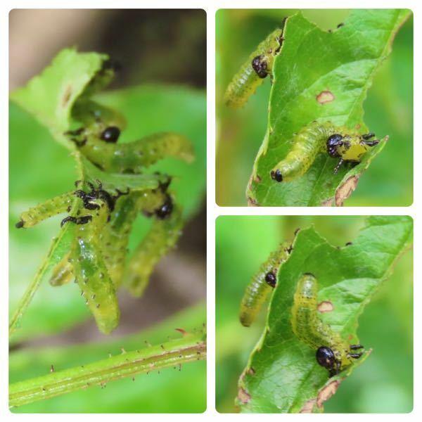 幼虫の種類 写真の幼虫について 種類が分かる方、ご教示ください。 昨日福岡県で撮影したものです。