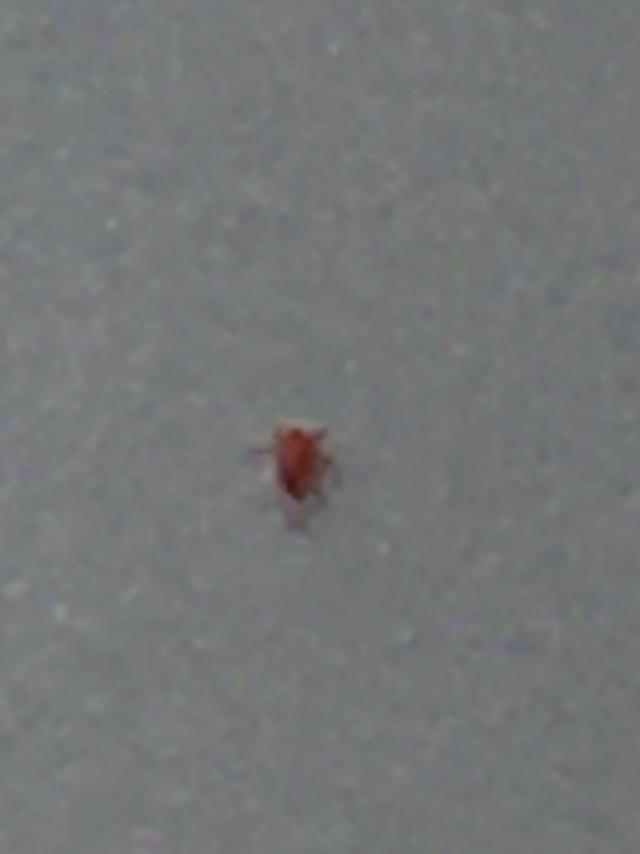 アパートの外に設置してある洗濯機に最近数匹の赤いダニかノミみたいなのがチョロチョロしていて不気味です。 体長は1ミリ程ですがよく走り回ります、人体に影響無ければ良いんですが、何と言う害虫だか判りますか?下の画像の小さな赤い虫です。