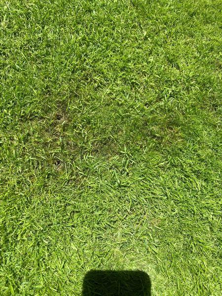 3月にベント芝の種を蒔きました。 芝刈り後に濃い緑の部分が増えてきて、腐った? 萎れているみたいになってしまいました。 病気でしょうか? 他にも禿げてしまって茶色く枯れてしまった箇所があります。 水のやりすぎなんでしょうか? どなたか教えていただきたいです。 土壌は砂100%です。