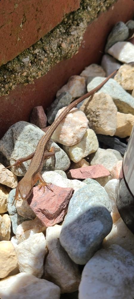 このトカゲの名前わかる方いますか?