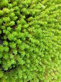 この草何ですか? 分かる人いますか?  最近ウチの庭に大量に発生していて困っています。。。 むしると簡単に取れるんですが量が凄いので困ってます。