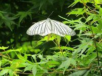この縞模様が綺麗な蝶の名前は、何でしょうか。