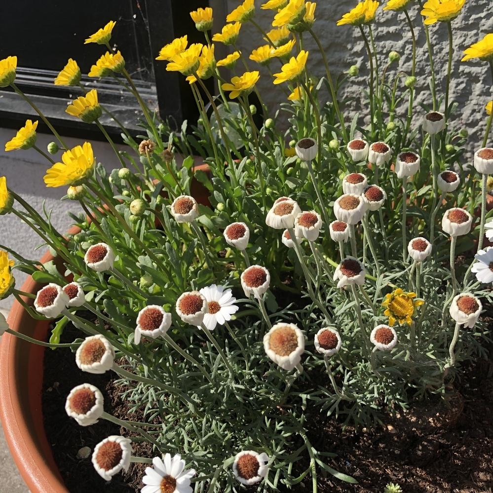 ガーデニングに詳しい方お願いします。 家の花ですが、家族が花が好きなので家族が管理してますが、毎回、花が枯れるというか、ある突然写真のように下向いた状態になってしまい、結局それきり花が開くことなく枯れています。この現象が何回も起きていますが、原因はなんなんでしょうか。