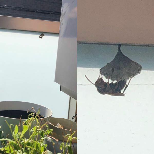 アシナガバチの習性にくわしい方。 アシナガバチの 【2-3センチ】の小さな巣 女王蜂1匹のみ @ベランダ 作り始めなので 殺虫剤以外 円満な方法で近所の畑などに移動させたい (アシナガバチは畑の害虫を食べ 人を刺しにくいので 新しい人生を送ってもらうために..) 簡単にとれる 2-3センチ どうやって移動させたらいいでしょう? 女王蜂ごと畑に移動できたらいいのですが… 昼間...