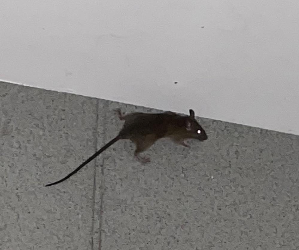 このネズミの種類はなんですか?