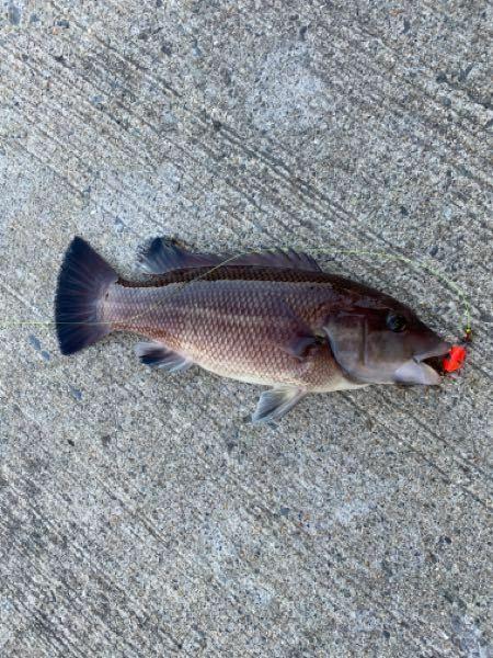 今海でこんな魚が釣れました。 釣り初心者でいつもメバルやカサゴなど 落として釣っていたのですが、初めて釣れました。 この魚の名前わかる方いませんか? また、食べられますか?