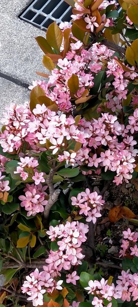 この低木の名前を教えてください。 開花は4月頃からと思います。