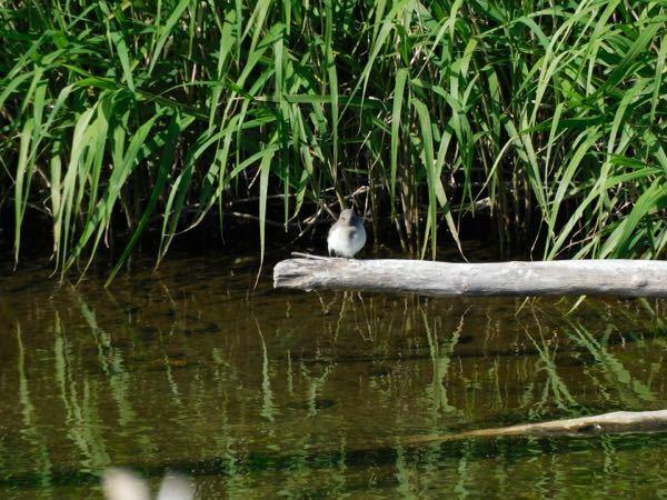 お世話になります!今朝川の中の木にとまっていた子の名前を知りたいので、よろしくお願いします。雛かな?