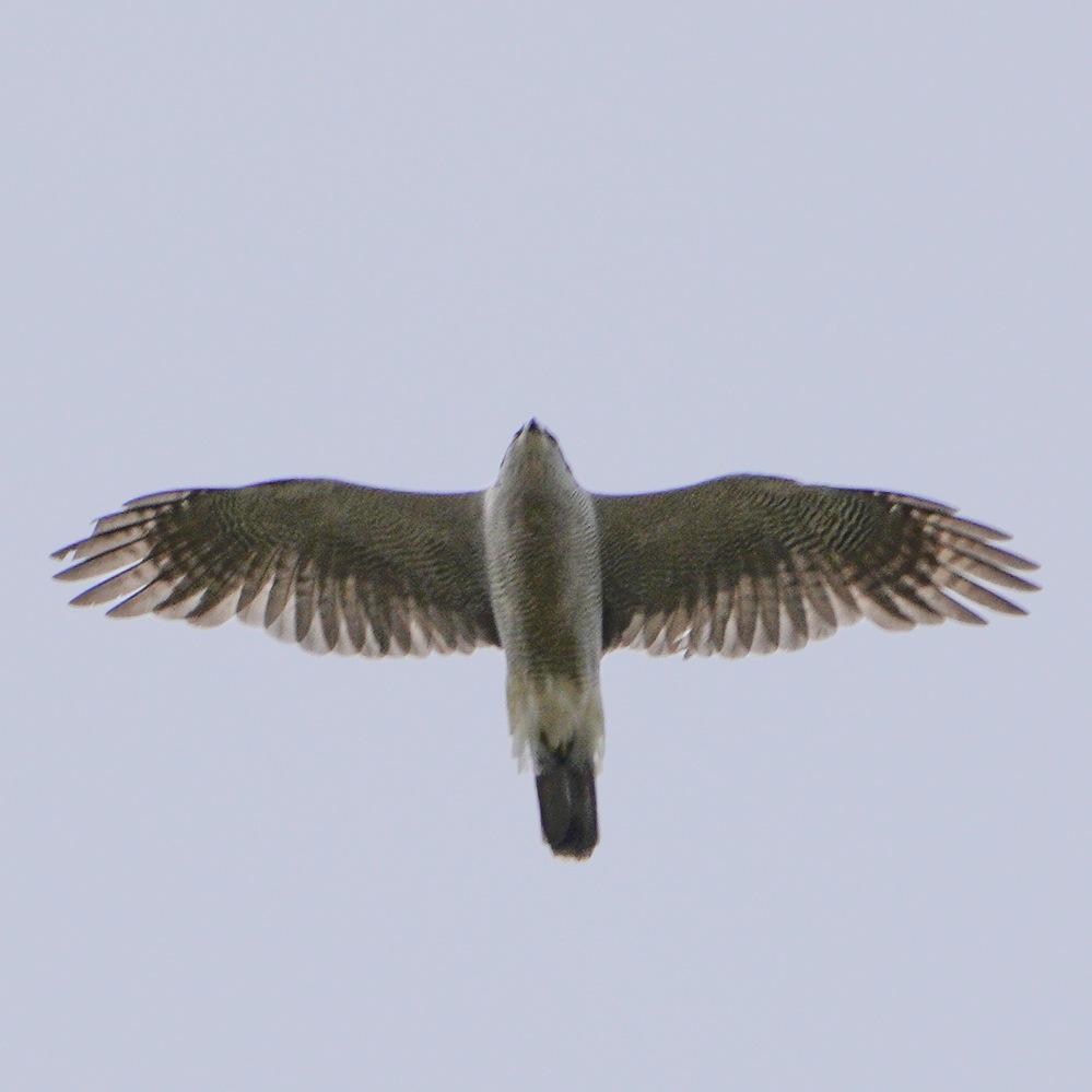 この猛禽の種類を教えてください。愛知県の平野部の上空を飛んでました