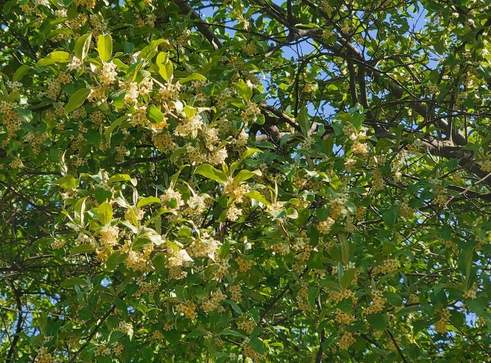 この花はなんという花ですか? 大きな樹木に薄い黄色をした小さな花が たくさんついてました。 バニラのような、ジャスミンのような やさしい感じの香りがしたのですが、 なんという花でしょうか。