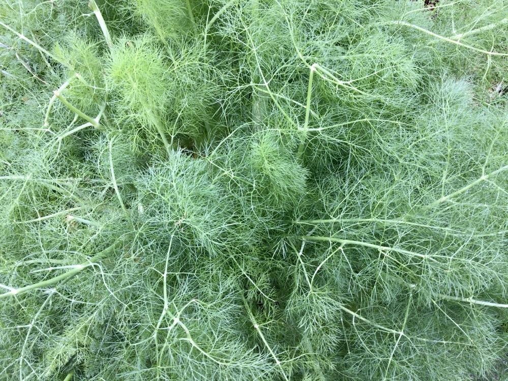 この海藻みたいな植物の名前を教えてください。