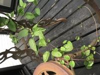 ウッドデッキの下から生えてきたこのツル状の植物の名前を教えて下さい。あまりきれいでないので抜いてしまおうかなと思っています。
