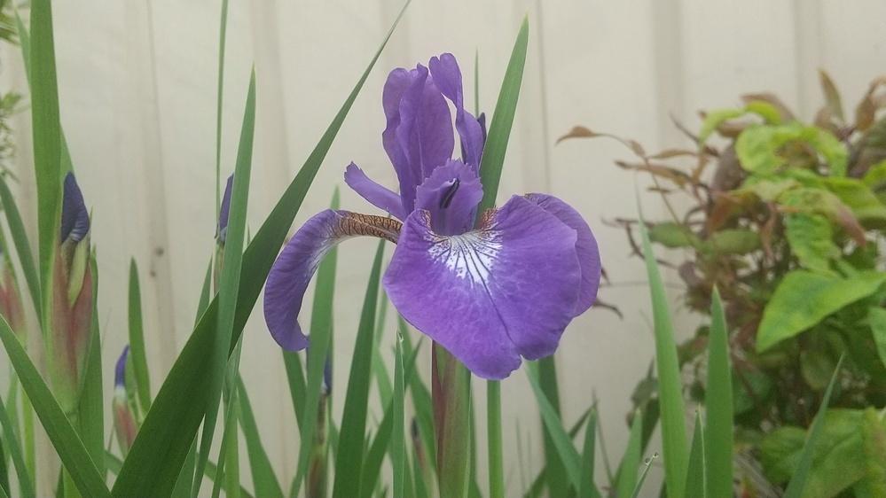 この花の名前を教えて下さい。 乾燥している庭に生えています。 高さは45センチ程度、葉の幅は広い所で1センチくらいです。 よろしくおねがいします。