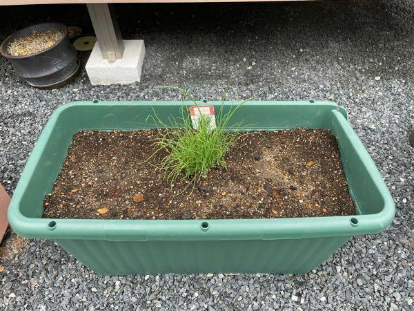 九条ネギの苗をホームセンターで買い、プランター に飢えました。この植え方は不味いですか?分散させた方が宜しいですか?