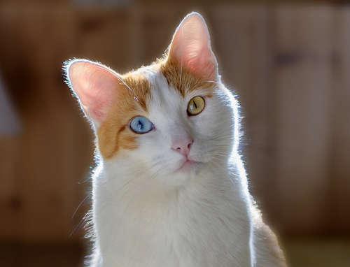 「オッドアイ」の猫に対する質問です。 何で「オッドアイ」の猫は、写真のように、左目は黄色く、右目は青い猫が少なく、左目は青くて、右目は黄色い猫が多いのですか?何か原因はありますか?