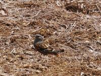 この鳥の名前をご存知の方がいらしたら教えていただきたいのですが。 長野県の標高1300メートルほどの山のひらけた所でつがいで地面の餌を探している様子でした。 雀より一回り大きいかなという体長。 ヒトの2、3メートル近くでも平気な様子でした。