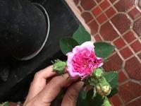 ごみで捨てられていた株から挿し芽で復活したバラです。何という名前でしょうか。 花の直系3センチ、香りが素晴らしく樹高40センチほど、横に広がるタイプです。