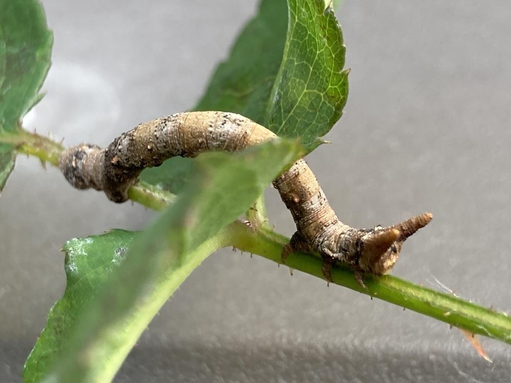 この幼虫はなんですか?