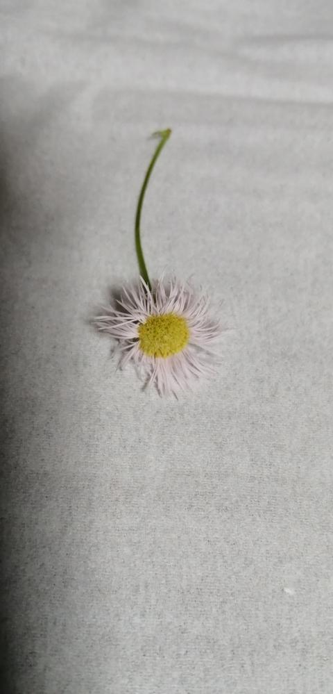 花の名前を知りたいのでよろしくお願いします。 娘が学校帰りに摘んできました。 状況的に自生している雑草?ようですが、 名前が分かる方いらっしゃいましたら、ご教示ください。
