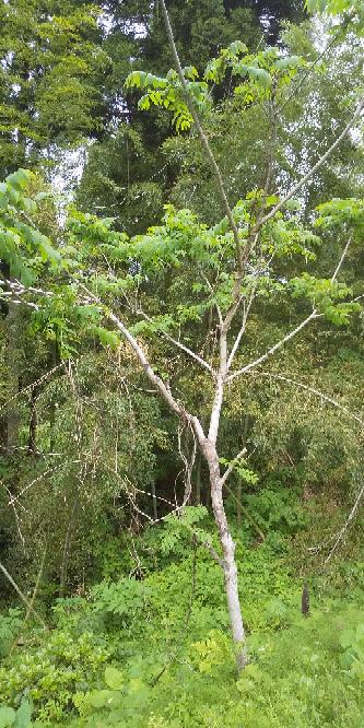 この樹木の名前を教えてください