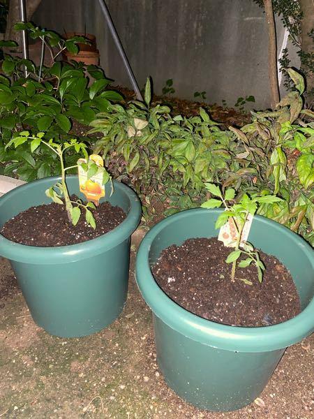 植えてから、ミニトマトじゃなくて大玉だと気づきました、 植えたのを取り出すのも忍びなくて、 10号ポットで、桃太郎は実をつけてくれますかね?^^;