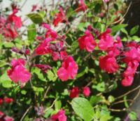 小さな赤い花が咲いた低木があります。 何と言う花なのかご存知の方がいらっしゃいましたらお教え下さい。