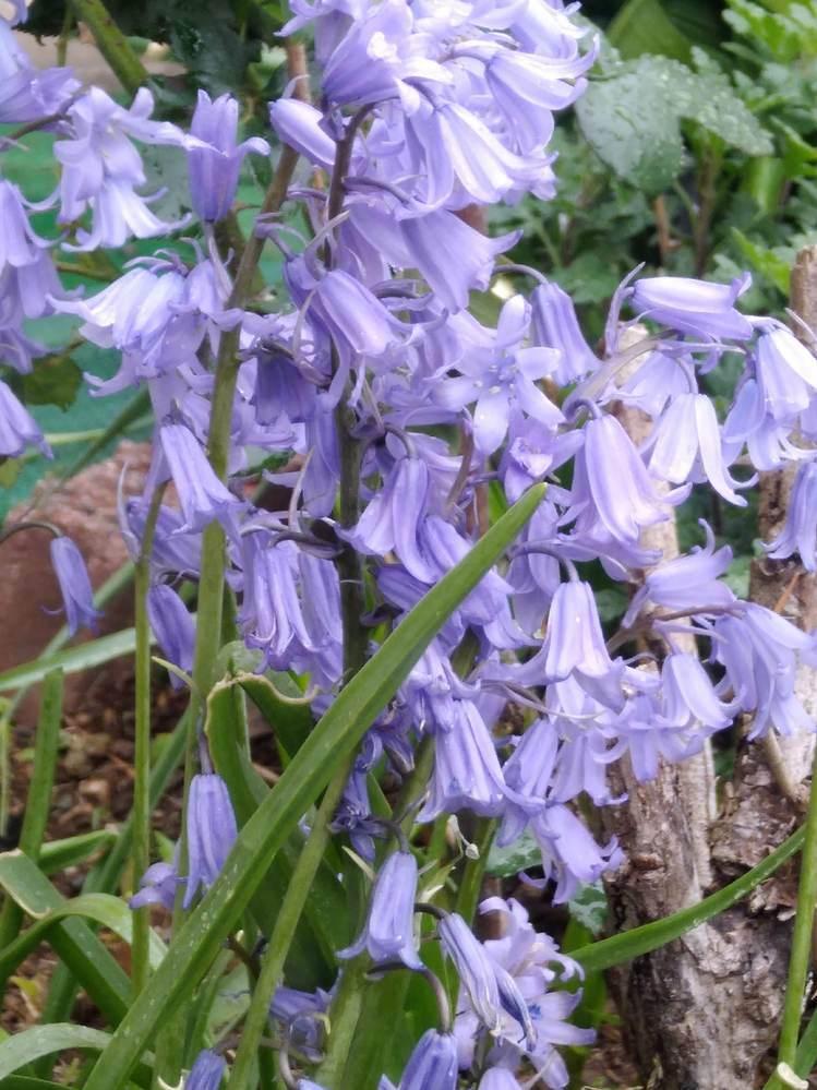 花の名前を教えてください ①写真の紫のお花はなんていう名前ですか? ちょうど今ごろ、毎年咲きますが、多年草で球根でしょうか? ②引っ越しをするのですが、地面に生えているものを掘り出してプランターに生けても翌年咲きますか? ③今、地面に生えてますが、花は濃紫でつぼみみたいで、スズランのように下を向いて元気がないです でも、切って花瓶にさすと薄紫の花が上を向いて開花します なぜでしょうか?