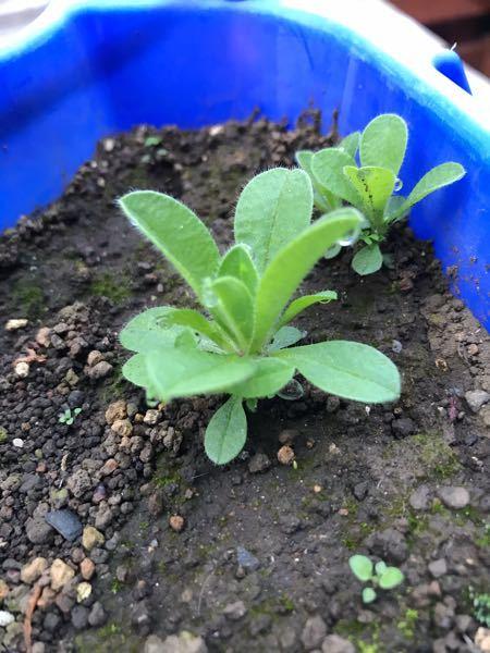 スーパーで買った普通のいちご(とちおとめ)の皮を剥いて種だけ取って植えたところ、こんなのが生えてきました汗 土は庭の土を使ったので何かの種が混ざっていたのか、苺の芽なのか‥。 いちごってこんな葉っぱじゃないですよね?? これなんの植物か分かる方いらっしゃいますか? 住まいは東京。写真は現在の写真です。