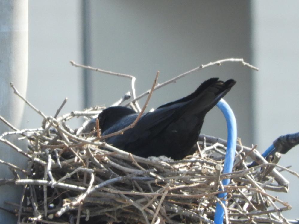 カラスの生態に詳しいかたにお尋ねします。私のマンションの南側50メートル先くらいの電柱にカラスが巣を作っているのを発見しました。 実はその10日前から我が家やご近所に、日に10回以上も鳩が飛来し困っていたのですが、カラスの巣を発見した頃から鳩の飛来が減り、カラス側からはみえない北側に1~2回来る程度になりました。まさしくカラスのおかげなので、もう少しカラスさんには留まって欲しいです。 それで、カラスの周産期スケジュールを知りたいと思うのですが、巣にきてるのは朝夕2~3回、1羽だったり2羽だったり、数分間、巣の中でゴソゴソやって、飛び去ります。雛らしきものは見つかりません。夜間はわかりません。このカラスくんたち、繁殖のどの段階なのでしょうか。