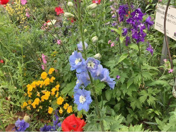 この薄青い花の名前を教えてください。 後の濃紫色の花も同じ種類だと思います。
