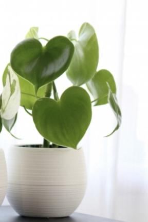 植物に詳しい方、お力添え 宜しくお願い致します。 こちらの画像のハートの植物のお名前が わかる方おられましたら、教えて頂けないでしょうか。とても可愛く思い、買いたいと思っています。宜しくお願い致します。