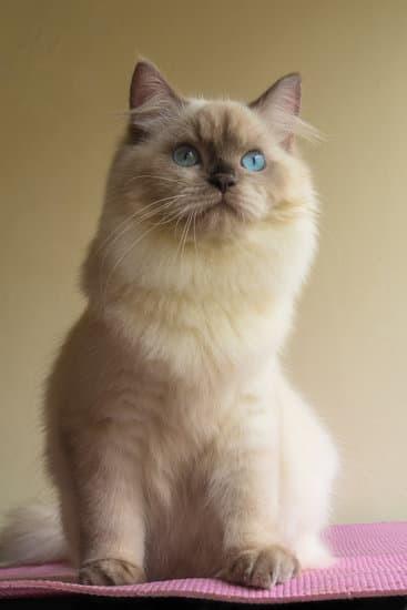 ネコのヒマラヤンは、ペルシャにシャムの遺伝情報が混ざり誕生した「変異種」ですか?