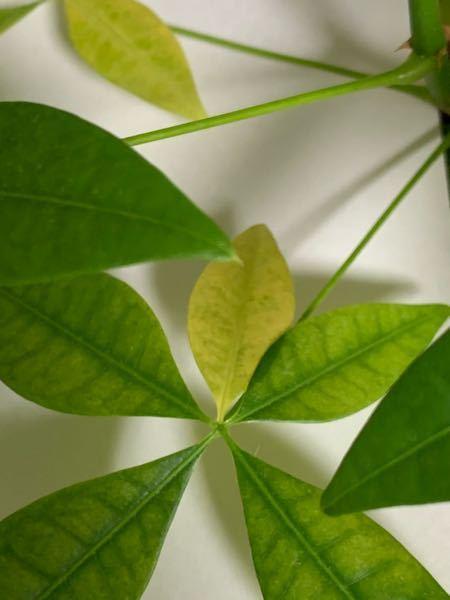 観葉植物パキラについて なるべく早めにお願い致しますm(_ _)m パキラの葉っぱが、画像のように黄色くなってきてしまいました。 3月辺りから少しずつ黄色くなり始め、幹の根元に白いフサフサした...