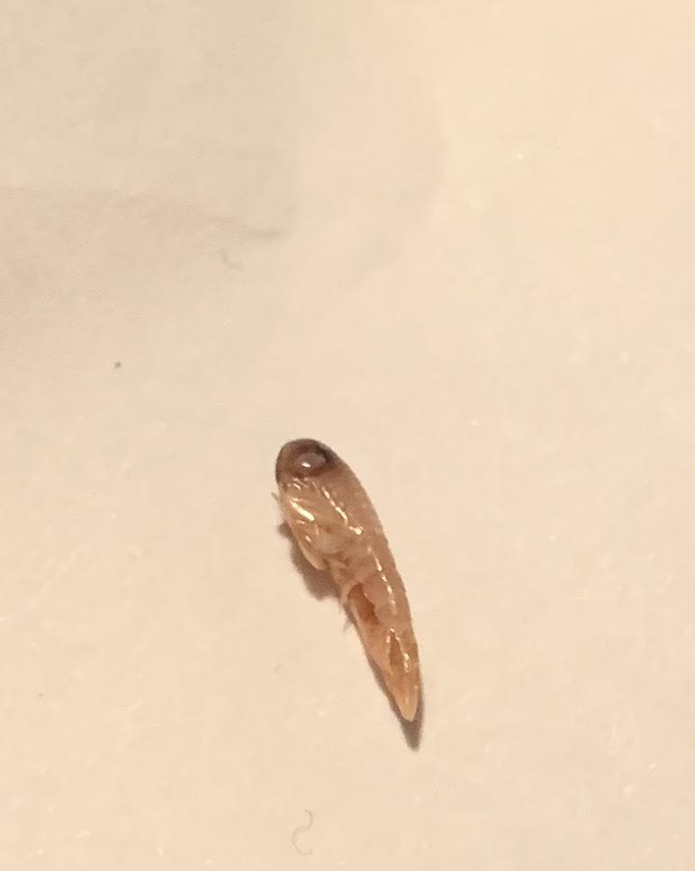 しらすのパックのなかに混ざってました。 これはなんの生き物ですか? 硬いです。エビに似てるけど幼虫のような頭で検索したけどわかりませんでした笑