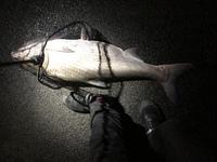 夜、汽水域シーバス釣りをしていたら 巨大な魚が泳いでたのでタモですくってみたのですが これはボラですか?? ボラにしてはやけに鱗が細かい気がしたので気になって投稿しました。 詳しい方、お願いします。  写真に載ってる自分の足が26.5cmなので推定80cmくらいだと思います…