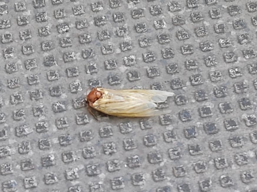 写真の昆虫について教えてください。 昨日の朝ベランダにいるのを見つけました。 1日経った今朝も同じ場所にいます。 この昆虫はなんという昆虫でしょうか? またまるっと1日同じ場所にいるのはすでに亡くなっているという事でしょうか? 1度も触れていないので動くかどうか分かりません。 昆虫に詳しい方どうぞよろしくお願いします。