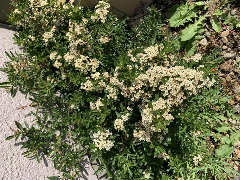 この植物の名前はなんでしょうか? 教えていただきたいです。庭に勝手に生えてきて、花が咲いたからそのままにしてあるんですが、少し生臭い匂いがします。白っぽい色で枝にトゲがあります。