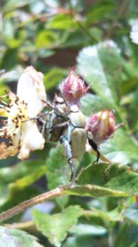 【注:コガネムシの写真あり】 もう根こそぎノイバラを抜くしかないか、、、コガネムシの生体にも詳しい方ぜひアドバイスを!  3年前に庭に植えたノイバラが成長し、横2m、高さ1.5m程度の面積に花を咲かせてくれています、が、大量のコガネムシが飛来してきます!!土地に産み付けられた卵から生まれ寄生しているわけでなく、周辺の林などから(?)主に写真の種が飛んできてます。  他の家より少し高台で風上に...