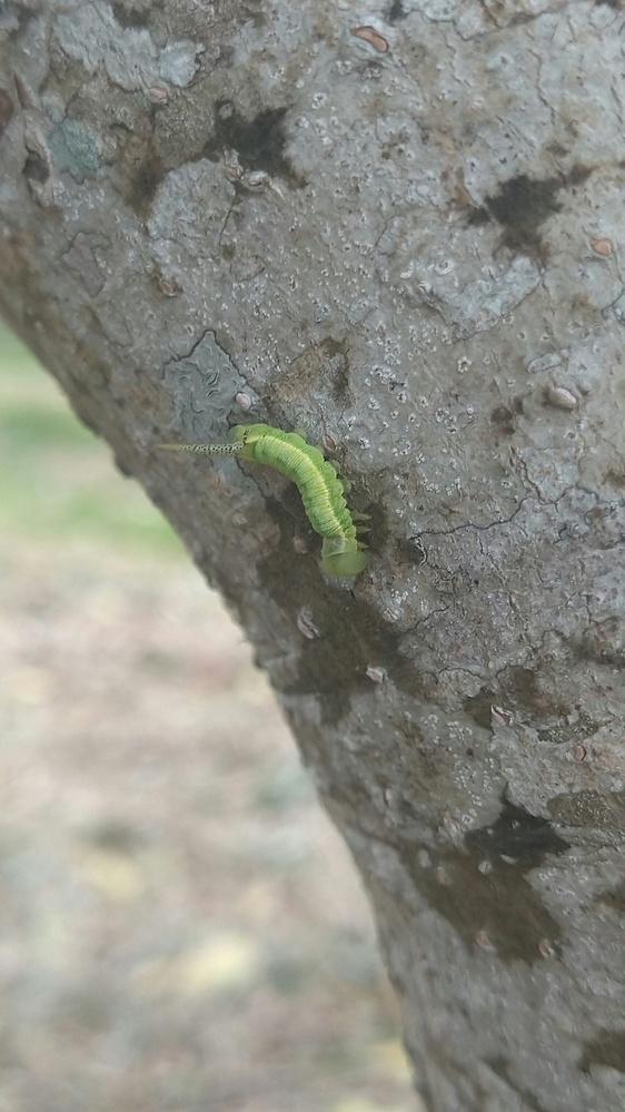 これは何の幼虫でしょうか?