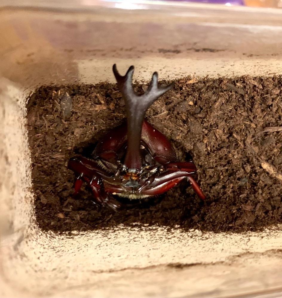 カブトムシの羽化について詳しい方にお尋ねします。 初めての飼育で、羽化3匹目、オスが羽化したのですが、 たった1〜2日でマットから上がってきて体の一部が出ている状態です。 縦位置の状態でちょうど胸の半分くらいのところ迄でていて、 止まってじっとしています。*画像あります。 羽化後こんなに早く土から上がってくるケースってあるのでしょうか? 色々と検索もしたのですが、見つけられませんでした。 この