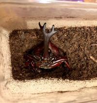 カブトムシの羽化について詳しい方にお尋ねします。  初めての飼育で、羽化3匹目、オスが羽化したのですが、 たった1〜2日でマットから上がってきて体の一部が出ている状態です。 縦位置の状態でちょうど胸の半分くらいのところ迄でていて、 止まってじっとしています。*画像あります。  羽化後こんなに早く土から上がってくるケースってあるのでしょうか? 色々と検索もしたのですが、見つけられ...