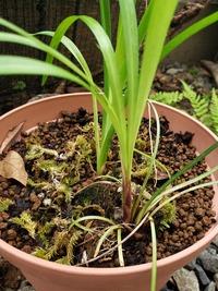 植物の名前についての質問です。 知り合いから山野草をいくつか頂いたのですが、名前が分かりません。 奥の植物はヤブカンゾウだとわかったのですが、手前の植物の名前はなんというのでしょうか?また、これらは同じ鉢に植えて大丈夫でしょうか? 回答よろしくお願いします。