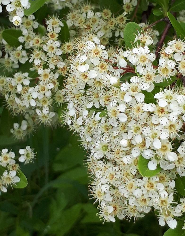 これはカマツカの花でしょうか? よろしくお願いいたします。