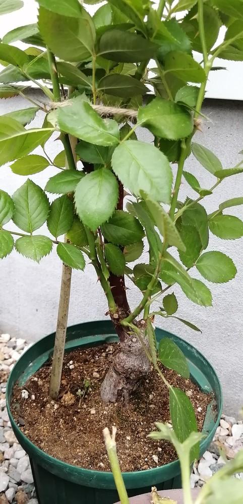 バラの苗の植え方について質問です。 今日、バラ園でバラの苗を買ってきました。 ノヴァーリスとパシュミナです。 どちらも接ぎ木から枝が3本くらいでていて、花も咲いていて蕾もいくつかあります。 高さは60〜70cmくらいです。 この苗は新苗ですか? 植え方は、新苗のように根鉢を崩さずに植えたら良いでしょうか? あと、新苗は蕾の段階で切ったほうが株が充実すると見聞きしたのですが、こちらの苗も蕾は切ったほうが良いですか?