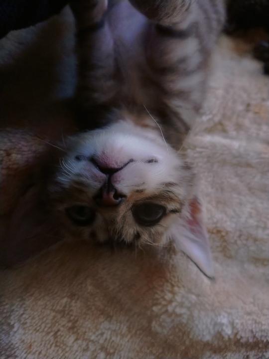 家のにゃんこちゃんです。 まだ子猫ですが、野良で生まれて捨てられて直ぐに保護しました。しかしどこでか、ヒゲが写真のようにバッテリ切れてます。他にも3匹居ますが、その中の1匹も同じです。大丈夫ですかね?